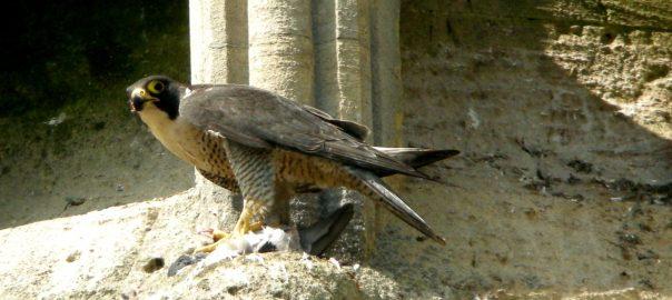 Hawk WIDE