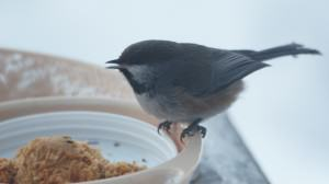 Boreal chickadee at a feeder. Photo: Wayne Hall