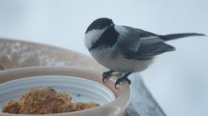 Clack-capped chickadee. Photo: Wayne Hall