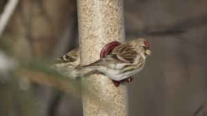 Common redpoll on a feeder. Photo: Wayne Hall