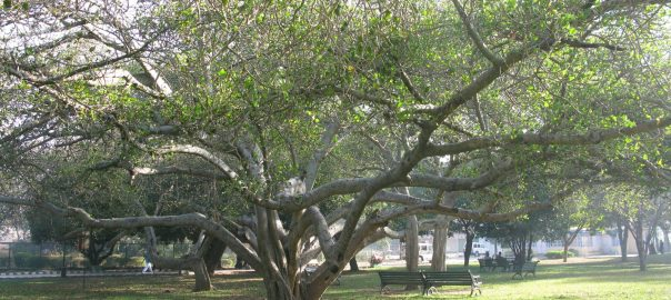 6_Heritage trees in Lal Bagh