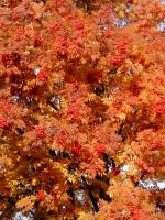 Mountain ash in autumn colors. Photo: Wayne Hall
