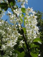 Chokeberry blossoms. Photo: Wayne Hall