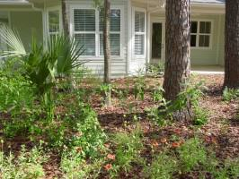 Native plants used for landscaping in a front yard; no turfgrass was used (Madera subdivision – Gainesville, FL). Photo by Glenn Acomb
