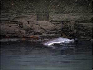 The Gowanus Canal dolphin. Photo: Brandon Rosenblum http://www.flickr.com/photos/wesbran/sets/72157632606818159/