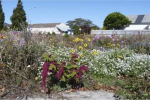 Wildflowers at Worcester Street, Stanmore corner, 2012 Photo: Colin Meurk