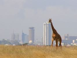 A Giraffe in Nairobi National Park. Photo: Wikipedia Commons