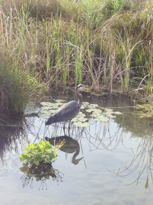 Great Blue Heron and reflection in Tanner Springs. Photo: Mike Houck