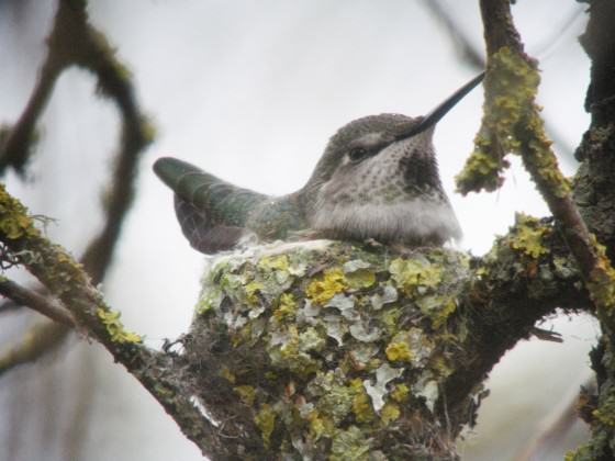Anna's Hummingbird female on nest. Photo: Mike Houck.