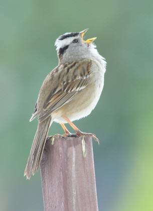 White crowned sparrow at Heron Pointe. Photo: Mike Houck