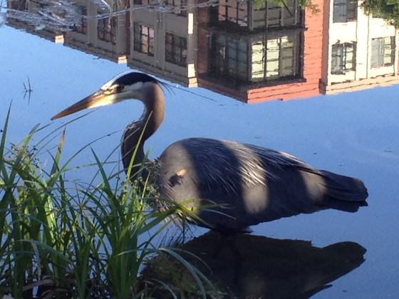 Heron at Tanner Spring. Photo: Michael Abbate