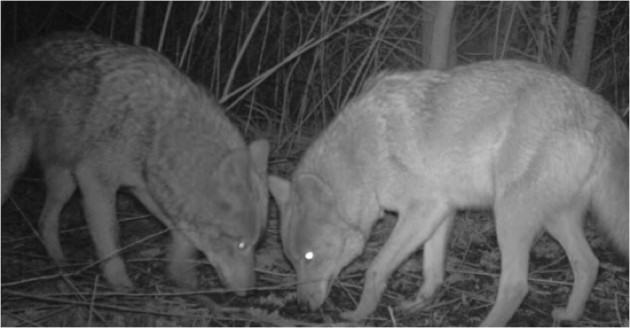 Two coyotes in a park in New York City, photographed by a motion-triggered stationary camera.  Photo credit: Gotham Coyote Project