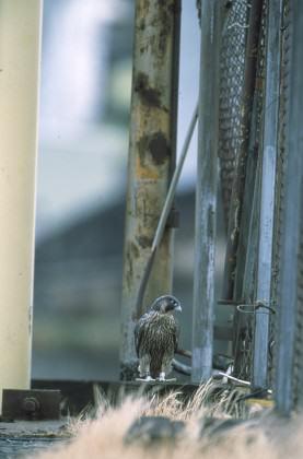 Skulking falcon. Photo: William Hall