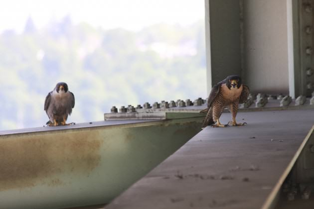 Adult falcons on the Fremont Bridge. Photo: Bob Sallinger