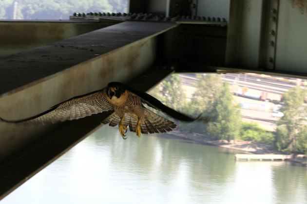 Adult falcon protecting nest during banding. Photo: Mary Coolidge