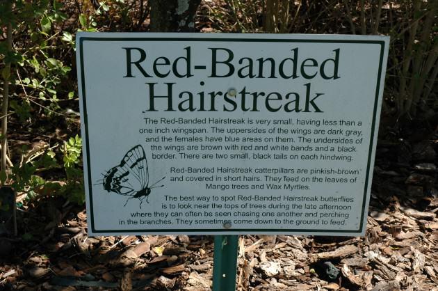 Red Banded Hairstreak. Photo: Tim Beatly