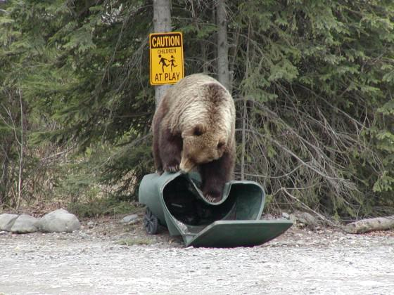 A brown bear inspects a residential trash container. Photo: Alaska Department of Fish and Game