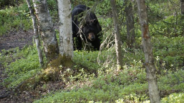 A black bear passes through woodlands in east Anchorage, in a park popular with both people and bears. Photo: Wayne Hall