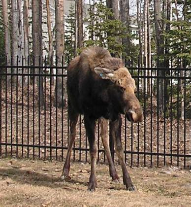 Ears back, hackles raised, this urban moose is agitated and ready to charge. Photo: Alaska Department of Fish and Game
