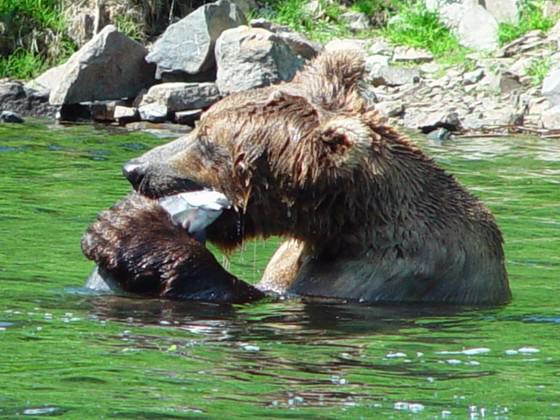 Anchorage is the largest U.S. city to have brown bears walk its trails and streets and fish for salmon in its creeks. Photo: Alaska Department of Fish and Game.