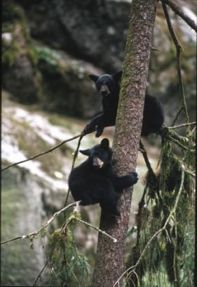 Black bears are much more common than browns; here two cubs take refuge in a tree. Photo: Alaska Department of Fish and Game