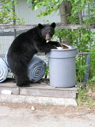One of the chief attractants for black bears in Anchorage is human trash. Photo: Alaska Department of Fish and Game