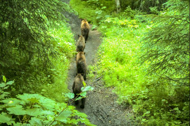 A brown bear female with three cubs walks along a trail that's popular with walkers and bicyclists. Photo: Alaska Department of Fish and Game