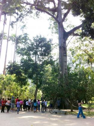 Jardim Botânico do Rio de Janeiro: pessoas apreciando a Sumaúma (Ceiba petranda) – gigantesca árvore da Amazônia. Credito: Cecilia Herzog