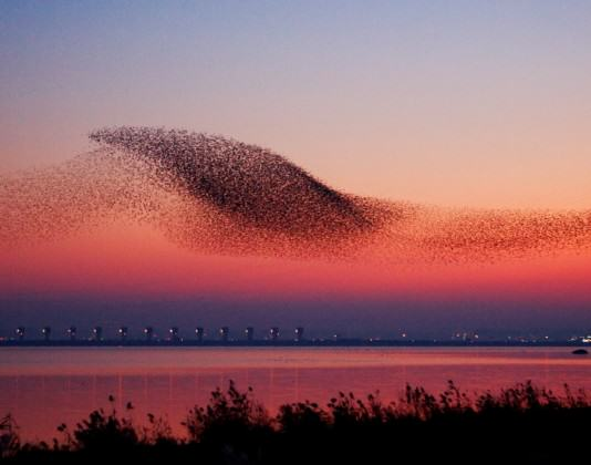 A massive flock of Baikal Teal flying at the background of sunset over Geum River Estuary, South Korea Source: the county of Seocheon and Korea Tourism Organization (http://www.visitkorea.or.kr/kor/inut/travel/theme/recom_content/cms_view_1158034.jsp)