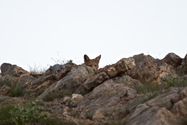 A Red Fox peers at me through a pile of rocks near Kibber. Photo: Madusudan Katti