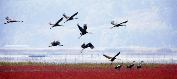 Hooded cranes at Suncheon Bay