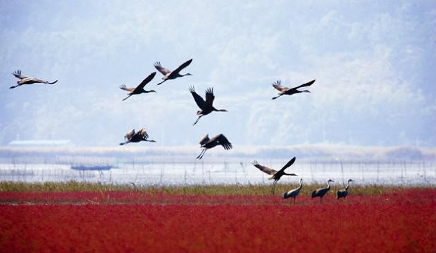 Hooded Cranes at Suncheon Bay Source: Suncheon Bay Garden Expo (http://eng.2013expo.or.kr/)