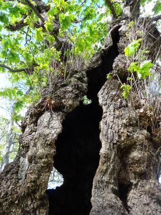European Oak—The old hollow oak tree. Photo: Russell-Galt