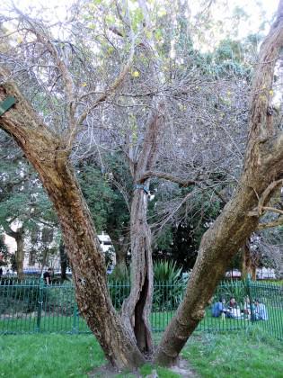 Saffron Pear—The saffron pear tree. Photo: Russell Galt