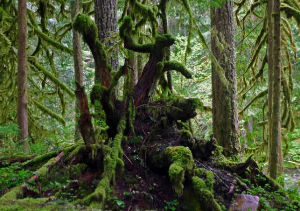 An old-growth forest in Oregon, US. Image: Susan Liepa
