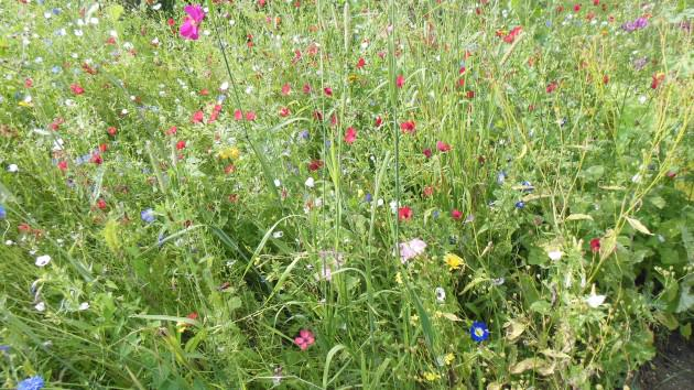 Naturalistic plantings resembling native meadows in Southern Germany. Photo: Ana Faggi