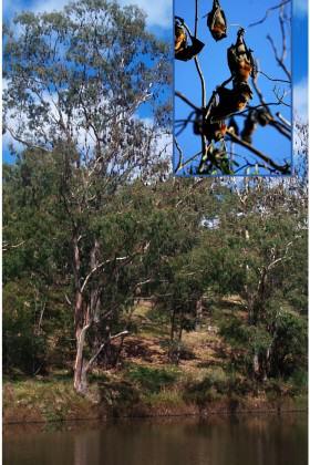 Grey-headed Flying-Fox camp along the Yarra River, Melbourne Australia. Photo: Ian Kitchen