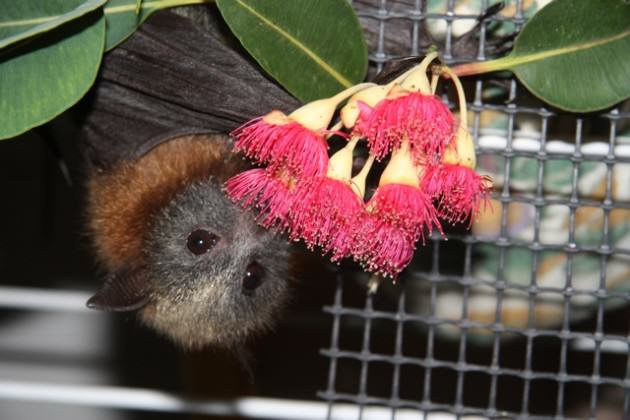 GHFF in captivity eating pollen & nectar from a Eucalyptus blossom. Photo: Rodney van der Ree