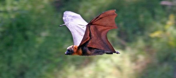 Grey-headed Flying-fox in Melbourne, Australia. Photo: Ian Kitchen