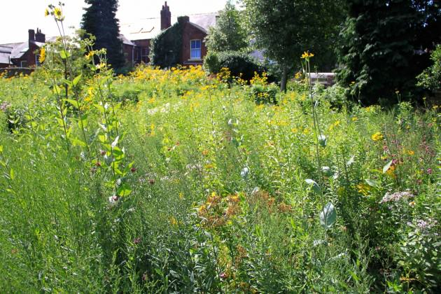Wildflower meadows in Sheffield Botanical Gardens. Photo: C. Ives