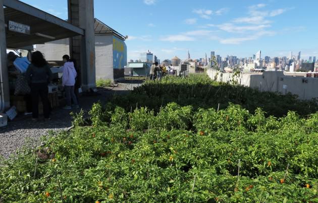 Figure 15 – Vista da fazenda Brooklyn Grange em um teto no bairro do Queens, em Nova York: outubro passado emum sábado de manhã. A feira está no lado esquerdo e a vista de Manhattan ao fundo. Photo: Cecilia Herzog