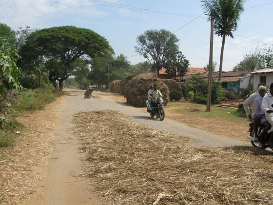 Farmers in a rural Indian village spread a millet crop on the road, so that urban motorists can drive their vehicles onto the dried ears, crushing them to make it easy to remove the loosened grains. Thus, rural areas take advantage of their connection with cities to reduce the manual labor involved with manual threshing of crops. Photo: Harini Nagendra