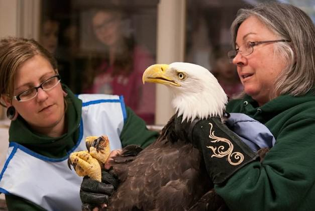 Audubon Staff Treating Eagle. Photo: Tinsley Hunsdorfer