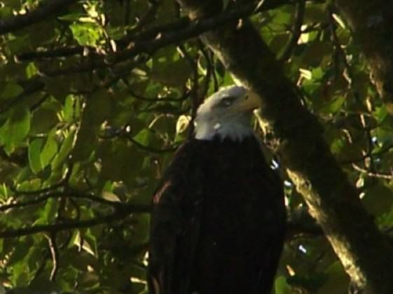 Photo of West Hayden Island Bald Eagle with Injured eye on November 28, 2012. Photo: David Redthunder