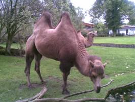 Bactrian camels at the Cologne Zoo. A decreasing population of less than 1000 persist in the wild. Photo: Andre Mader