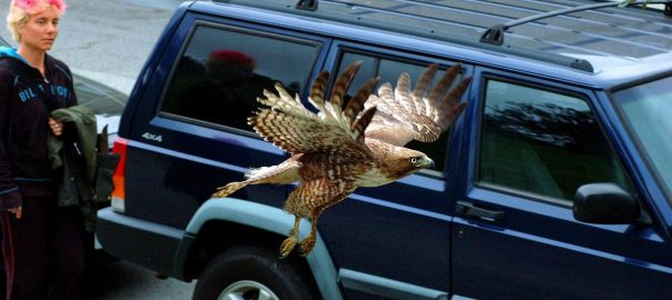 Red-shouldered Hawk in San Francisco. Photo: Walter Kitundu
