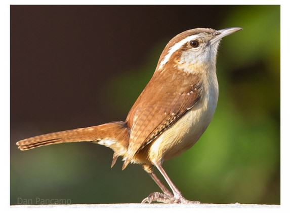 Carolina Wren. Photo: Dan Pancamo (Wikipedia)