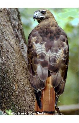 Red-tailed Hawk. Photo: Dan Sudia