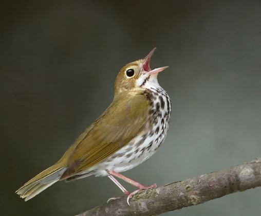 Ovenbird. Photo: AJ Hand, Connecticut Ornithological Association