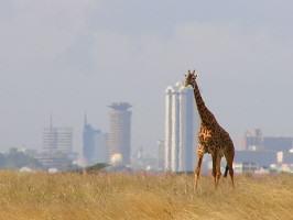GiraffeNairobi